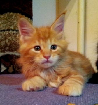 Котенок мейн кун в 6 недель