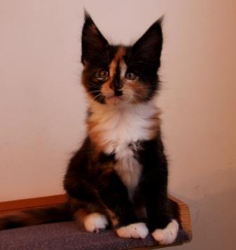 Кошечка мейн кун вес в 7 недель 1к 150гр